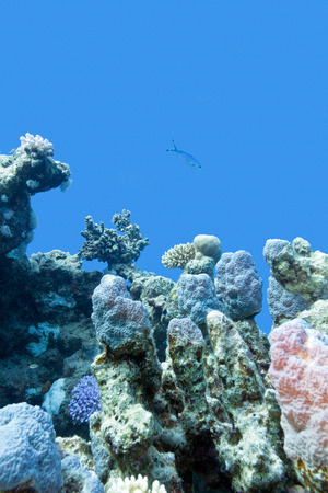 hard coral: colorful coral reef with hard coral at the bottom of tropical sea on blue water background