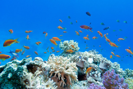 coral reef with soft and hard corals with exotic fishes anthias on the bottom of tropical sea  on blue water background Stock Photo - 27862983