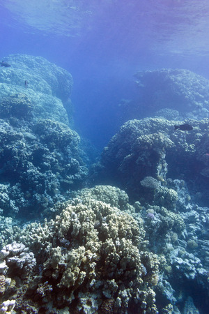 hard coral: coral reef with hard corals at the bottom of tropical sea on blue water background