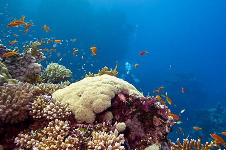 colorful coral reef with hard corals and fishes anthias at the bottom of tropical sea on blue water background Stock Photo - 27938280
