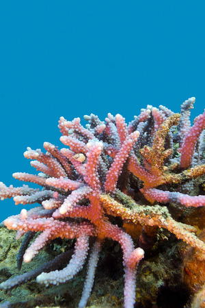madreporaria: coral reef with hard coral violet acropora at the bottom of tropical sea on blue water background