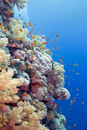 coral reef with hard corals and exotic fishes anthias at the bottom of tropical sea  on blue water background photo