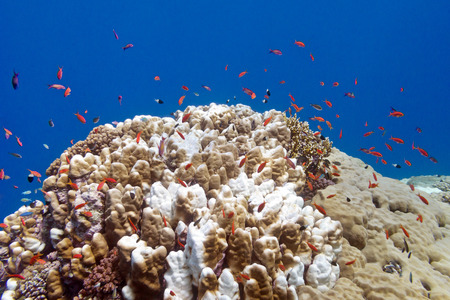 madreporaria: coral reef with exotic fishes anthias and porites coral at the bottom of tropical sea on blue water background Stock Photo