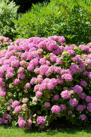 bigleaf hydrangea: great  bush of pink flower hydrangea blooming in the garden