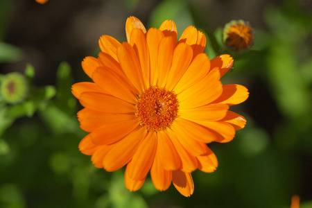 single blooming orange margold in garden on green background photo