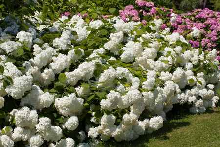 lil�s e arbustos brancos de grandes hort�nsias floridas no jardim Banco de Imagens
