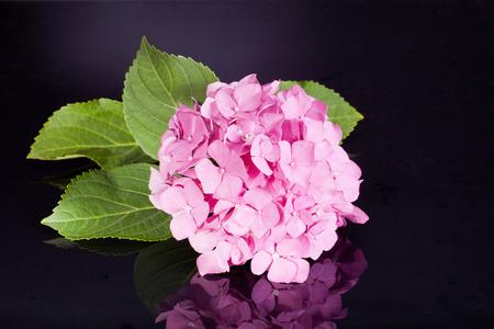 bigleaf hydrangea: single pink hortensia on black background Stock Photo