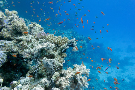 stony corals: coral reef with soft and hard corals with exotic fishes anthias on the bottom of tropical sea  on blue water background Stock Photo
