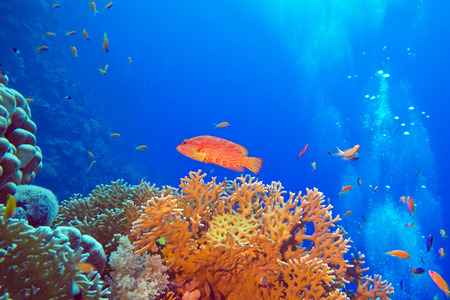 coral reef with red exotic fish cephalopholis at the bottom of tropical sea photo