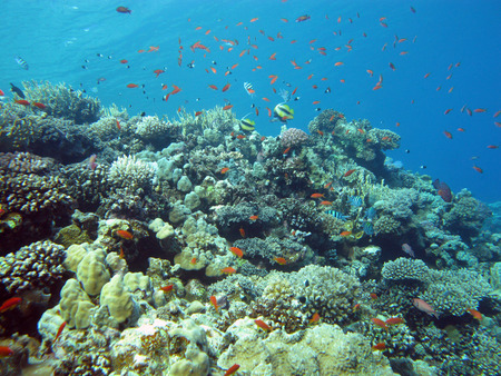 hard coral: coral reef with hard and fire coral and exotic fishes at the bottom of tropical sea