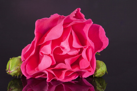 blossomed: single flower of pink rose with buds  isolated on dark background