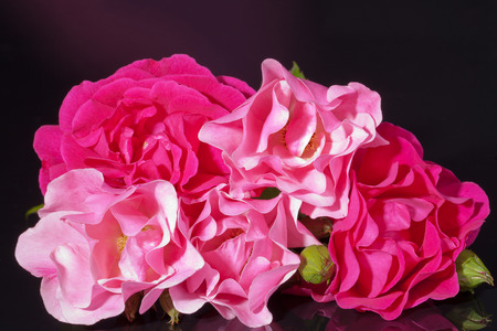 pink roses with buds isolated on black background Stock Photo