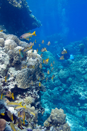 madreporaria: coral reef with porites corals and goatfishes at the bottom of tropical sea on blue water background