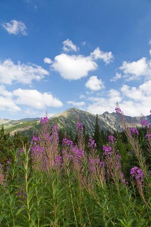 vista sobre montanhas e flores violetas fireweed no fundo do c Banco de Imagens