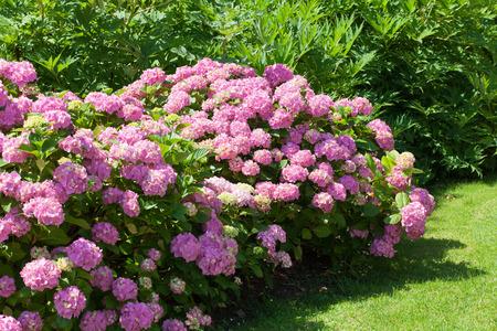 bush of pink hydrangea flowers blooming in the garden photo