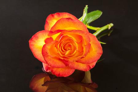 single flower of yellow rose on black background