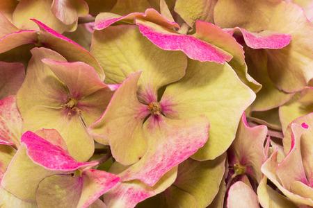 bigleaf hydrangea: background of dried hydrangea flowers close up