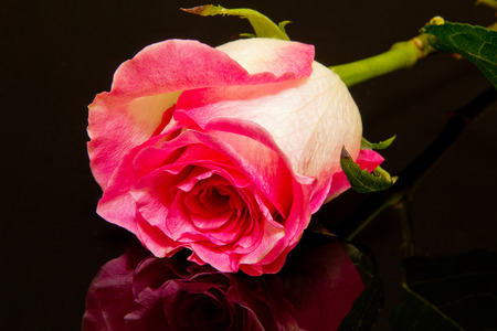 blossomed: pink rose flower on black background close up