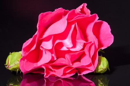 pink rose flower on black background close up