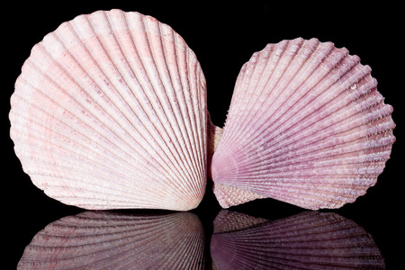 violet sea shells o black background close up