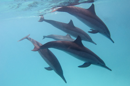 some dolphins in tropical sea on a background of blue water photo
