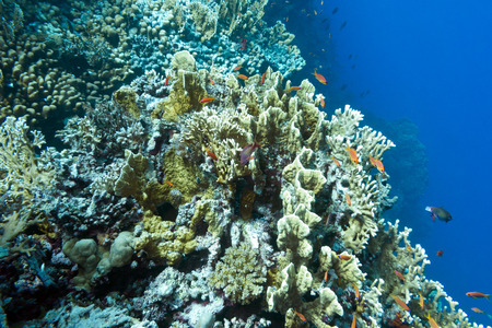 stony corals: coral reef with hard corals at the bottom of tropical sea , underwater life