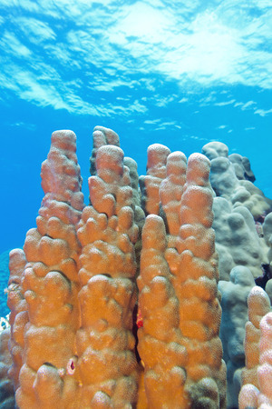 stony corals: coral reef with great porites coral at the bottom of tropical sea on blue water background