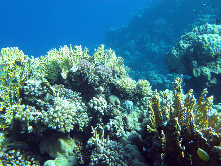 hard coral: colorful coral reef  with hard corals at the bottom of tropical sea on blue water background, underwater Stock Photo