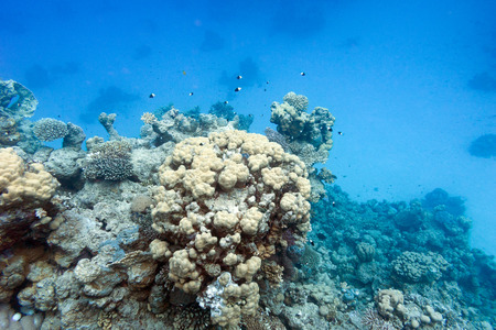 stony corals: coral reef on the bottom of tropical sea, underwater