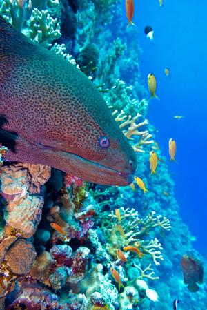 colorful coral reef with dangerous great moray eel at the bottom of tropical sea photo