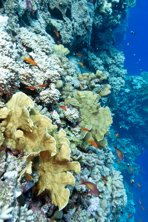 colorful coral reef with hard corals and exotic fishes at the bottom of tropical sea photo