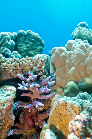 coral reef with hard coral violet acropora at the bottom of tropical sea photo