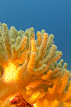 sarcophyton: coral reef with great yellow soft coral on the bottom of tropical sea  on blue water background