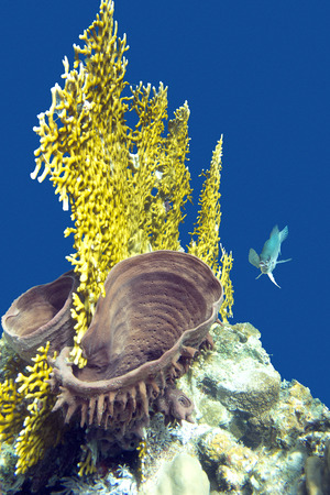 sarcophyton: coral reef with fire coral and sea sponge on the bottom of tropical sea Stock Photo