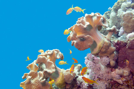soft corals: coral reef with soft corals and exotic fishes athias at the bottom of tropical sea on blue water background
