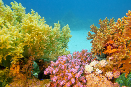 colorful coral reef with soft corals in tropical sea on blue water background photo