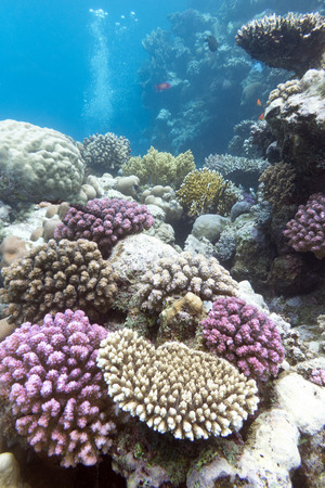 colorful coral reef with hard violet corals on the bottom of tropical  sea photo