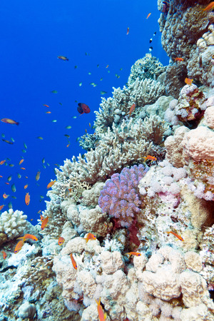 scleractinia: colorful coral reef with exotic fishes in tropical sea on a background of blue water