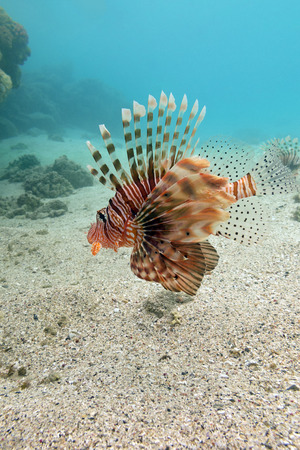 stony corals: lionfish at the bottom of tropical sea on a blue water background
