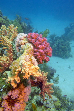colorful coral reef at the bottom of tropical sea on a blue water background photo