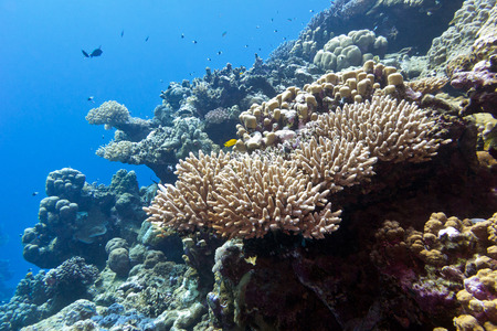 stony corals: coral reef with hard corals in tropical sea on a background of blue water