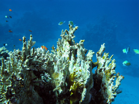 exotic fishes: colorful coral reef at the bottom of tropical sea with great soft coral and exotic fishes on a background of blue water, underwater