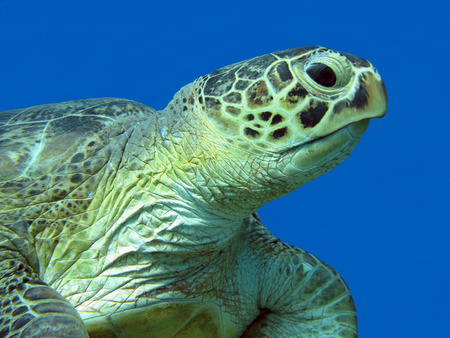 single great sea turtle at the bottom of tropical sea on a background of blue water, close up photo