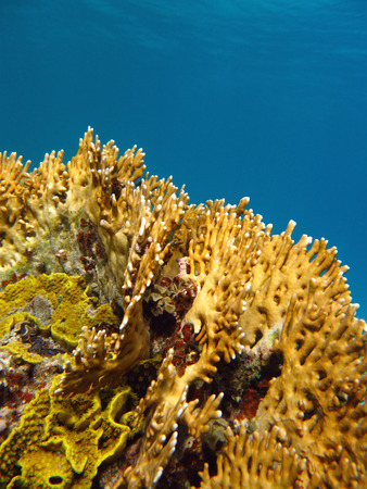 coral reef with great yellow fire coral at the bottom of tropical sea on a background of blue water photo