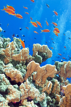 coral reef with fire coral and exotic fishes Anthias at the bottom of tropical sea photo