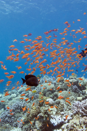 stony corals: colorful coral reef with shoal of fishes scalefin anthias in tropical sea Stock Photo