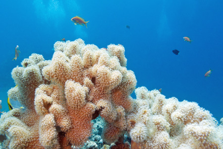 sarcophyton: coral reef with great  sarcophyton coral at the bottom of tropical sea on a background of blue water Stock Photo