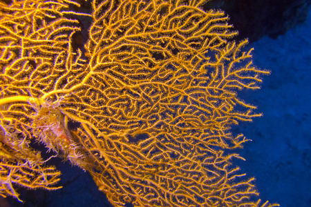 giant gorgonian in tropical sea, underwater photo