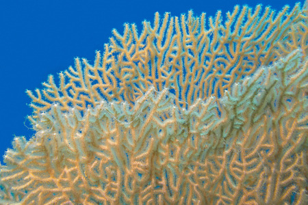 gorgonian sea fan: giant gorgonian in tropical sea, underwater Stock Photo