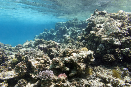 madreporaria: colorful coral reef under the surface of water in tropical sea,  underwater Stock Photo